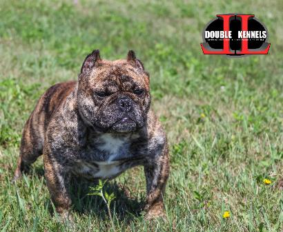 Double L Kennels-WE SPECIALIAZE IN GOTTILINE BULLY STYLE PIT